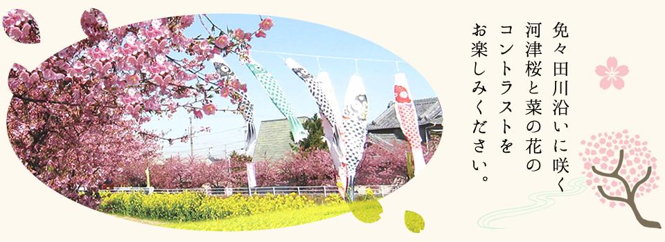 渥美半島で毎年開催されている「免々田川 菜の花・桜まつり」のご案内です。
